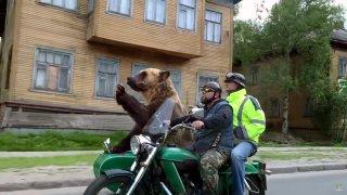 Medvěd na sajdkáře je větší než oba lidští cestují