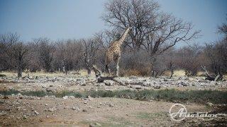 A hned žirafa přes cestu