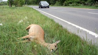 Viníkem nehody s divokým zvířetem je vždy řidič. Z povinného ručení nedostane ani korunu